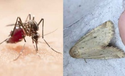 Ցեցեր և մոծակներ